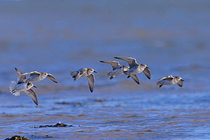 Red knot (Calidris canutus) in winter plumage flying over the sea. Durham, UK. February  -  Oscar Dewhurst