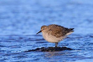 Red knot (Calidris canutus) in winter plumage standing on seaweed-covered rock. Durham, UK. February.  -  Oscar Dewhurst