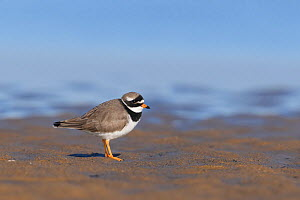 Ringed plover (Charadrius hiaticula) standing on beach. Durham, UK. January.  -  Oscar Dewhurst