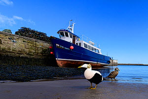 Eider (Somateria mollissima) pair in front of boat in Seahouses harbour. Northumberland, UK. March  -  Oscar Dewhurst