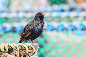 European starling (Sturnus vulgaris) male perched on fishing equipment. Northumberland, UK. March  -  Oscar Dewhurst