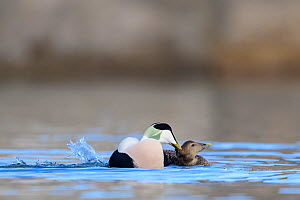 Eider (Somateria mollissima) pair mating in the water. Northumberland, UK. March.  -  Oscar Dewhurst