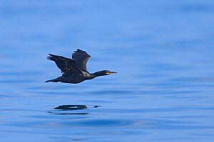 Shag (Phalacrocorax aristotelis) adult in flight over the sea. Farne Islands, Northumberland, UK. July.  -  Oscar Dewhurst