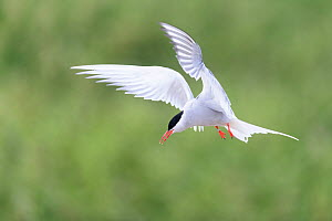 Arctic tern (Sterna paradisaea) in flight. Farne Islands, Northumberland, UK. July  -  Oscar Dewhurst
