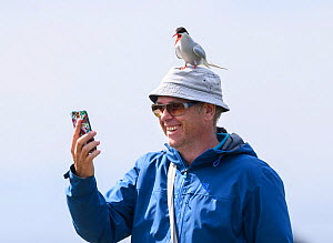 Arctic tern ((Sterna paradisaea) adult calling perched on man's head while he takes a selfie with mobile phone. Farne Islands, Northumberland, UK. July  -  Oscar Dewhurst