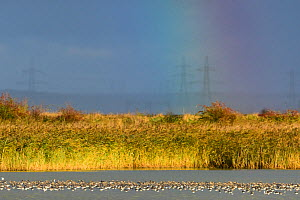Flock of black-tailed godwit (Limosa limosa) and redshank (Tringa totanus) on water with a rainbow in the background. Kent, UK. October  -  Oscar Dewhurst