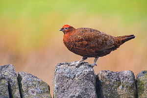 Red grouse (Lagopus lagopus scoticus) male on stone wall. Durham, UK. April  -  Oscar Dewhurst
