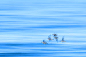 Sanderling (Calidris alba) flying over the sea. Durham, UK. March  -  Oscar Dewhurst