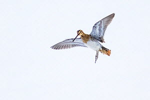 Common snipe (Gallinago gallinago) landing in snow-covered field. Durham, UK. March.  -  Oscar Dewhurst