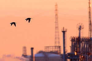 Curlew (Numenius arquata) in flight, silhouetted at sunset, with the industrial buildings of Teeside in the background. Durham, UK. January  -  Oscar Dewhurst
