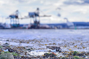 Ruddy turnstone (Arenaria interpres) feeding on shoreline with industrial buildings of Teeside in the background. Durham, UK. January  -  Oscar Dewhurst