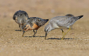 Red knot (Calidris canutus) adult and juvenile feeding. Kalajoki, Finland. August.  -  Jussi Murtosaari