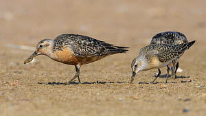 Red knot (Calidris canutus) and Curlew sandpiper (Calidris ferruginea) juvenile feeding in sand. Kalajoki, Finland. August.  -  Jussi Murtosaari