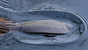 North American beaver (Castor canadensis) tail on water surface. Isojarvi National Park, Finland. August. Introduced species.  -  Jussi Murtosaari