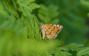 Rannoch looper moth (Macaria brunneata) female resting on fern. North Karelia, Finland. July.  -  Jussi Murtosaari