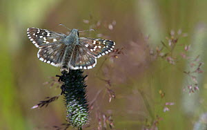 Large grizzled skipper butterfly (Pyrgus alveus) male resting in grass. Ruokolahti, Finland. July.  -  Jussi Murtosaari