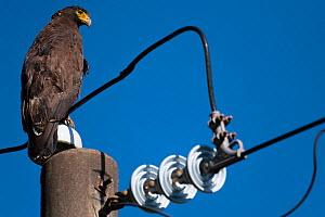 Crested serpent eagle (Spilornis cheela) juvenile perched on power line, Yangmingshan National Park, Taiwan  -  Staffan Widstrand / Wild Wonders of China