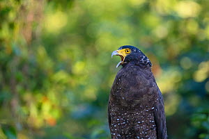 Crested serpent eagle (Spilornis cheela) young bird, Yangmingshan National Park, Taiwan  -  Staffan Widstrand / Wild Wonders of China