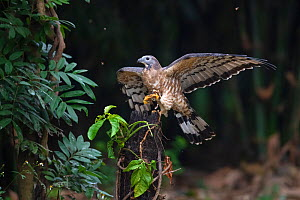 Oriental / Crested honey buzzard (Pernis ptilorhynchus) with honeycomb in claws, Chayi, Taiwan  -  Staffan Widstrand / Wild Wonders of China