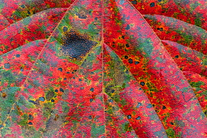 Maple leaf (Acer), close up of leaf. Alishan National Recreational Forest, Taiwan  -  Staffan Widstrand / Wild Wonders of China