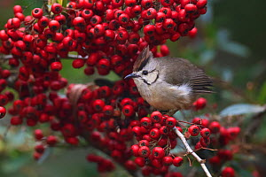 Taiwan yuhina (Yuhina brunneiceps) endemic species, perched amongst red berries, Alishan National Scenic Area, Taiwan  -  Staffan Widstrand / Wild Wonders of China