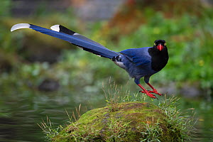 Taiwan blue magpie, (Urocissa caerulea), in Taipeh, Taiwan, endemic species  -  Staffan Widstrand / Wild Wonders of China