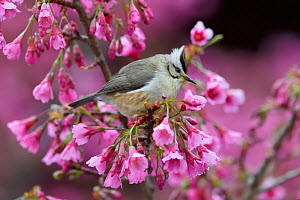Taiwan yuhina (Yuhina brunneiceps) perched amongst pink blossom, Alishan National Scenic Area, Taiwan. Endemic species  -  Staffan Widstrand / Wild Wonders of China