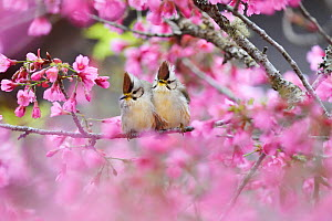 Taiwan yuhina (Yuhina brunneiceps) pair perched amongst pink blossom, Alishan National Scenic Area, Taiwan. Endemic species  -  Staffan Widstrand / Wild Wonders of China