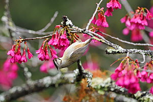 Taiwan yuhina (Yuhina brunneiceps) feeding on flowers, endemic species, Alishan National Scenic Area, Taiwan  -  Staffan Widstrand / Wild Wonders of China