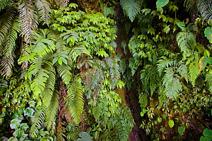 Ferns and cloud forest ground vegetation in the Yushan National Park, Taiwan  -  Staffan Widstrand / Wild Wonders of China