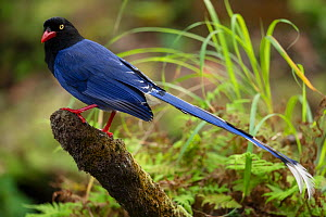 Taiwan Blue Magpie, (Urocissa caerulea) endemic species, Taipei city park, Taiwan  -  Staffan Widstrand / Wild Wonders of China
