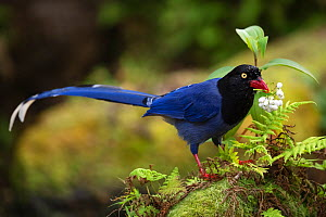 Taiwan Blue Magpie, (Urocissa caerulea) endemic species,Taipei city park, Taiwan  -  Staffan Widstrand / Wild Wonders of China