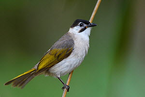 Styan's Bulbul (Pycnonotus taivanus) endemic species, Kenting National Park, Taiwan  -  Staffan Widstrand / Wild Wonders of China
