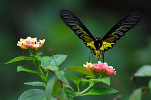 Golden Birdwing butterfly (Troides aeacus) Sheding Forest park, Kenting National Park, Taiwan  -  Staffan Widstrand / Wild Wonders of China