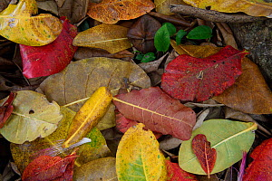Leaf litter, mainly from Indian almond trees, on the rainforest floor, Banana Bay Forest Rerserve, Kenting National Park, Taiwan  -  Staffan Widstrand / Wild Wonders of China