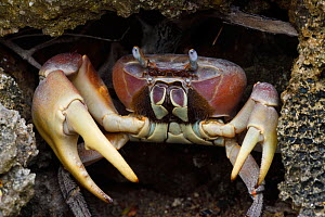 Taiwan's largest land crab species (Cardisoma carnifex) Banana Bay Forest Rerserve, Kenting National Park, Taiwan  -  Staffan Widstrand / Wild Wonders of China