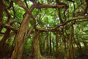 Banyan fig tree (Ficus benjamina), one single individual tree, Banyan garden protected forest, Kenting National Park, Taiwan  -  Staffan Widstrand / Wild Wonders of China