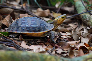 Chinese Box turtle or Yellow-margined turtle, (Cuora flavomarginata), Banyan garden protected forest, Kenting National Park, Taiwan  -  Staffan Widstrand / Wild Wonders of China