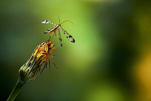 Scorpionfly (Panorpa sp.) taking off.  -  Stephen  Dalton