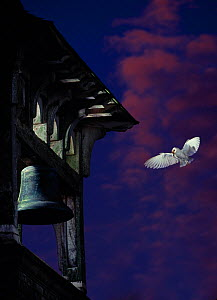 Barn owl (Tyto alba) in flight approaching bell-tower, carrying rodent prey to young in nest. Sussex, UK.  -  Stephen  Dalton