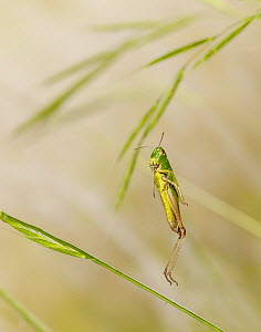 Meadow short-horned grasshopper leaping. High speed image, showing that even a 1/50,000 second flash is hardly fast enough to arrest the movement of some leaping grasshoppers.  -  Stephen  Dalton