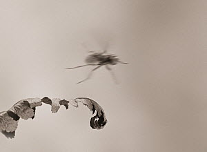 Housefly (Musca domestica) taking off, showing the 'freezing' power of conventional flash (about 1/1000sec). Taken in 1973 on B&W negative film. Suitable for small reproduction only.  -  Stephen  Dalton