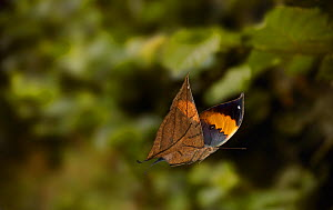 Indian leaf butterfly (Kallima paralekta) in flight.  -  Stephen  Dalton