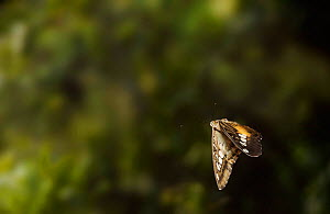 Clipper butterfly (Parthenos sylvia) in flight, a fast flying butterfly native to South East Asia.  -  Stephen  Dalton