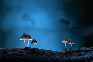 Fungus (Mycena sp) at night. New Forest National Park, England, UK. October.  -  Guy Edwardes