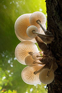 Porcelain fungus (Oudemansiella mucida) in forest, view of gills on undersides. New Forest National Park, England, UK. October.  -  Guy Edwardes
