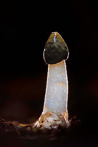 Stinkhorn fungus (Phallus impudicus). New Forest National Park, England, UK. November.  -  Guy Edwardes
