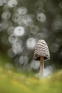 Magpie inkcap fungus (Coprinopsis picacea). New Forest, England, UK. October.  -  Guy Edwardes