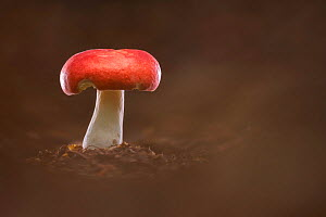 The sickener fungus (Russula emetica). New Forest National Park, England, UK. October.  -  Guy Edwardes