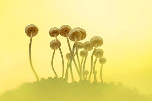 Pinwheel mushroom (Marasmius rotula). New Forest National Park, England, UK. October.  -  Guy Edwardes